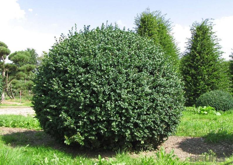 Buchsbaum - Buxus Sempervirens var. arborescens - Kugel B: 70-80 cm