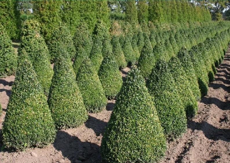 Buchsbaum - Buxus Sempervirens var. arborescens - Kegel H: 100-110 cm