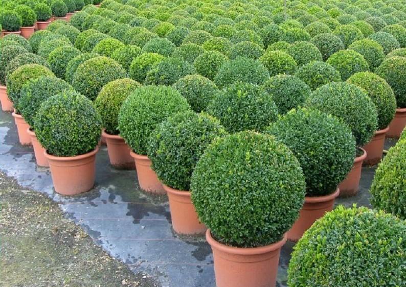 Buchsbaum - Buxus Sempervirens var. arborescens im Dekortopf - Kugel B: 50-55 cm