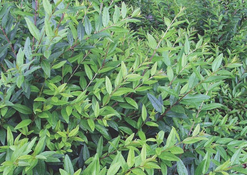 Liguster - Ligustrum Vulgare Atrovirens - Kugel B: 80-90 cm