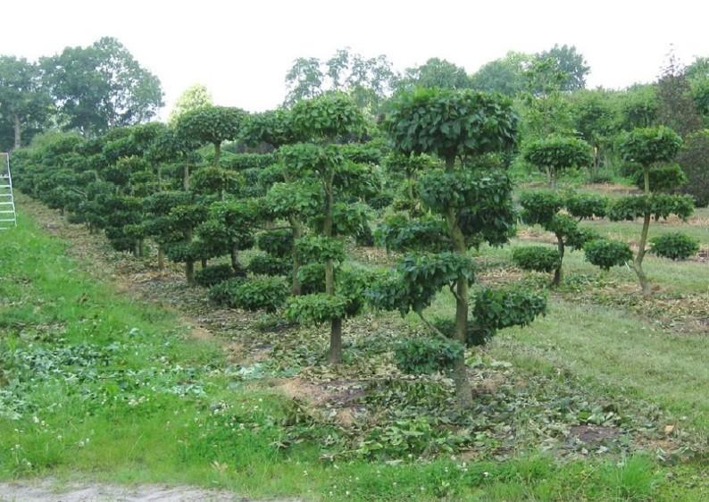 Hainbuche - Carpinus Betulus- Gartenbonsai B: 125-150 cm - H: 150-175