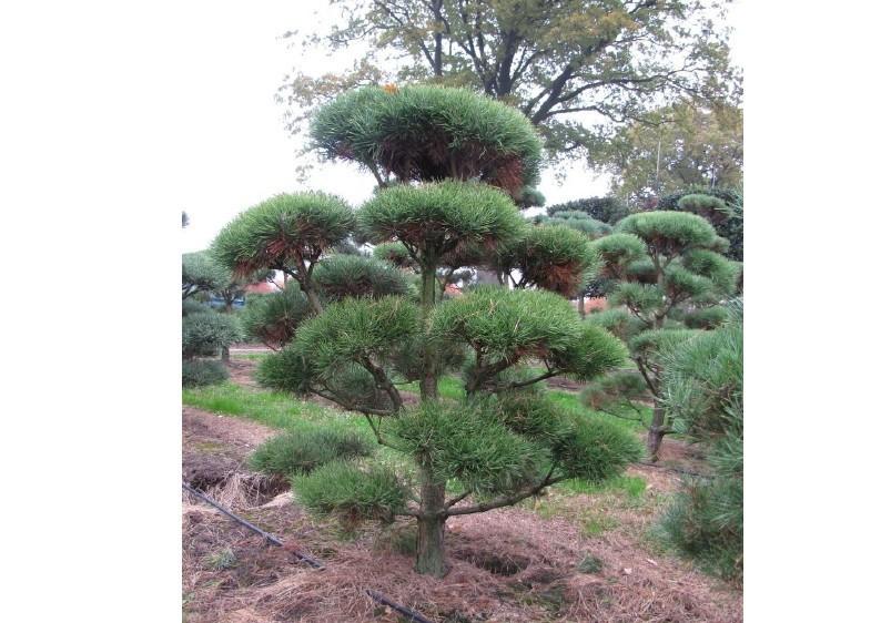 Strauch-Waldkiefer - Pinus Sylvestris - Gartenbonsai B: 125-150 cm - H: 175-200