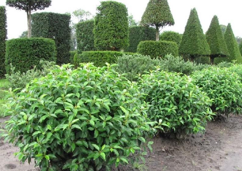 Portugiesischer Kirschlorbeer - Prunus Lusitanica Angustifolia - Kugel B: 70-80 cm