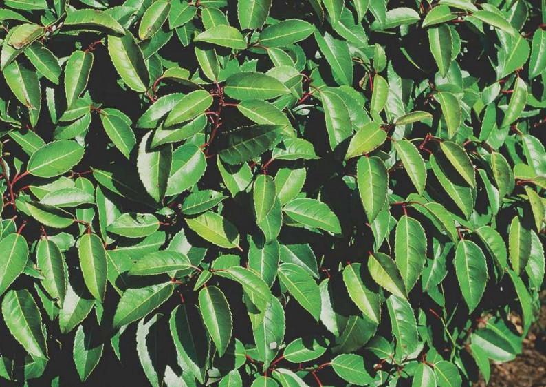 Portugiesischer Kirschlorbeer - Prunus Lusitanica Angustifolia - Kugel B: 60-70 cm
