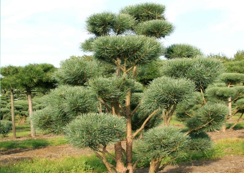 strauch waldkiefer pinus sylvestris watereri bonsaiform b 150 200 cm h 150 175. Black Bedroom Furniture Sets. Home Design Ideas